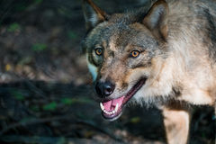 Wolf. A wolf looking into the camera with its mouth open Royalty Free Stock Photo
