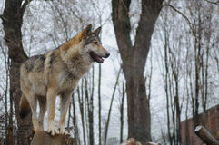 Wolf looking into the distance Royalty Free Stock Image