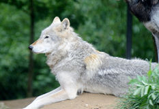Wolf looking Stock Images