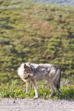 Wolf looking at prey with open mouth. In Denali National Park royalty free stock photo