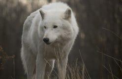 Wolf Looking To Right ártico Imagen de archivo libre de regalías