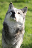 Wolf looking up portrait. A beautiful northwestern wolf looking upwards portrait Stock Photo