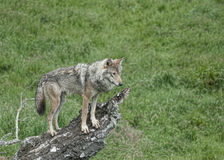 Wolf on lookout Royalty Free Stock Image