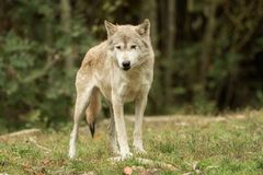 A wolf looks at the camera stock photo
