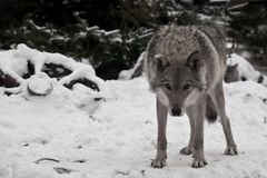 A wolf looks directly at you with its head down — a wolf`s gaze; a wheel from a peasant cart lies in the snow next to it. Around white snow and cold stock photography