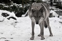 A wolf looks directly at you with its head down - a wolf`s gaze, the figure of a predator expresses danger. And readiness for an attack. Around white snow and royalty free stock photo