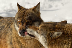 Wolf love. A Male wolf is getting a lick from a female wolf Royalty Free Stock Photography