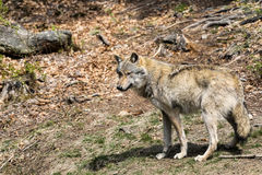 The wolf lurks on prey, looking from the front. European wolf, Europaeischer Wolf, Canis lupus, wolf, CZECH REPUBLIC Royalty Free Stock Image