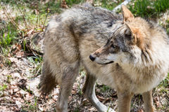 The wolf lurks on prey, looking from the front. European wolf, Europaeischer Wolf, Canis lupus, wolf, CZECH REPUBLIC Royalty Free Stock Images