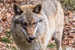 The wolf lurks on prey, looking from the front. European wolf, Europaeischer Wolf, Canis lupus, wolf, CZECH REPUBLIC Stock Photo