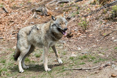 The wolf lurks on prey, looking from the front. European wolf, Europaeischer Wolf, Canis lupus, wolf, CZECH REPUBLIC Stock Photos