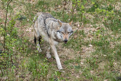The wolf lurks on prey, looking from the front. European wolf, Europaeischer Wolf, Canis lupus, wolf, CZECH REPUBLIC Stock Photography