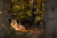 Wolf lying down in fairy tale autumn forest Royalty Free Stock Photos