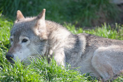 Wolf lying in the grass Royalty Free Stock Photo