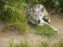Wolf Lying on Grass Looking at You Royalty Free Stock Photo