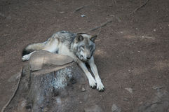 Wolf. A wolf lying on the ground in Omega park, Quebec Royalty Free Stock Photos