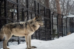 Wolf. The wolf in the maruyama zoo in hokkaido/japan stock image