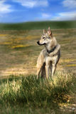 Wolf on a meadow stock photo