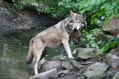 Wolf met een prooi stock foto's