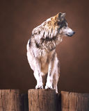 Wolf(Mexican). Mexican Wolf on portrait type background stock image