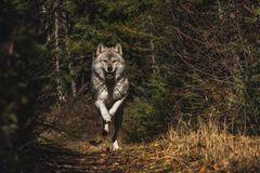 Wolf Mid Run photo libre de droits