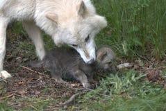Wolf mit Jungem Stockfotografie