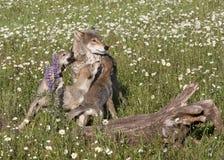 Wolf mit spielerischen Welpen in den Wildflowers Stockfoto