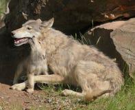 Wolf mit Welpen Stockfotografie
