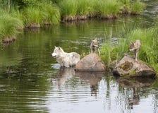 Wolf Mom e filhotes de cachorro que jogam pelo rio Imagens de Stock