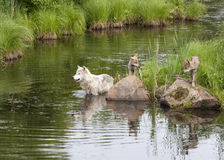 Wolf Mom and Pups Playing by the River Stock Images