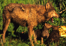 Wolf Mother with Pup Royalty Free Stock Photos