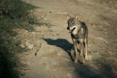 Wolf in national park. Royalty Free Stock Photography