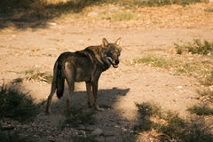 Wolf in national park. Stock Photography