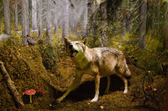 Wolf in the natural Museum of Tampere Stock Images