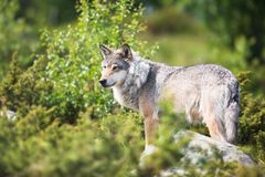 Wolf in nature. Close up of a wolf in the norwegian summer forest Stock Images