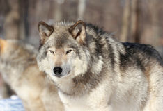 Wolf in nature. Gray wolf in forest during winter Stock Photography