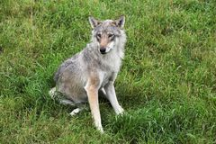 Wolf in the nature Stock Photography