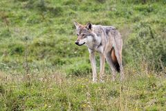 Wolf in the nature Royalty Free Stock Photo