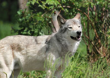 Wolf in nature during summer Royalty Free Stock Images