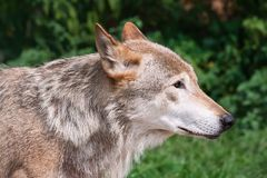 Wolf. Nice close up portrait of gray wolf Stock Image