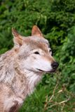 Wolf. Nice close up portrait of gray wolf Stock Photo