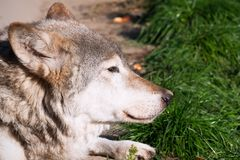 Wolf. Nice close up portrait of gray wolf Royalty Free Stock Image