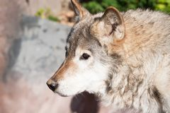 Wolf. Nice close up portrait of gray wolf Stock Photos