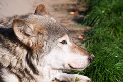 Wolf. Nice close up portrait of gray wolf Stock Photography