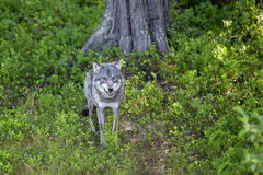 Wolf in the Norwegian forest. Wolf standing in the green Norwegian forest Royalty Free Stock Images