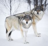 Three Wolves in the Snow. Wolf in a norwegian winter forest. Snowing Stock Photo