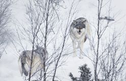 Three Wolves in the Snow. Wolf in a norwegian winter forest. Snowing Stock Image