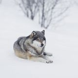 One Wolf resting in the Snow. Wolf in a norwegian winter forest. Snowing Stock Photography