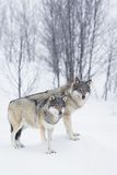 Three Wolves in the Snow. Wolf in a norwegian winter forest. Snowing Stock Images