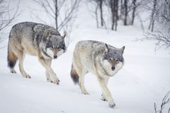 Three Wolves in the Snow. Wolf in a norwegian winter forest. Snowing Royalty Free Stock Photo